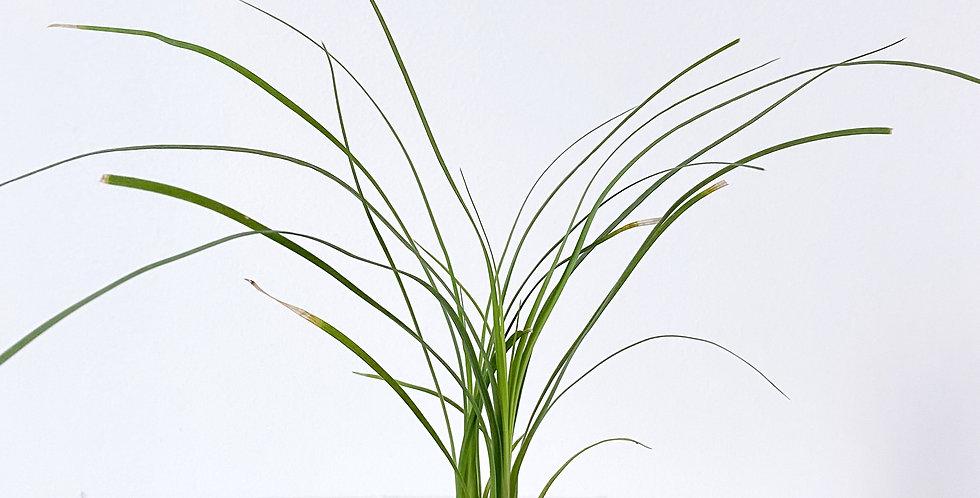 "2"" Beaucarnea - Ponytail Palm"