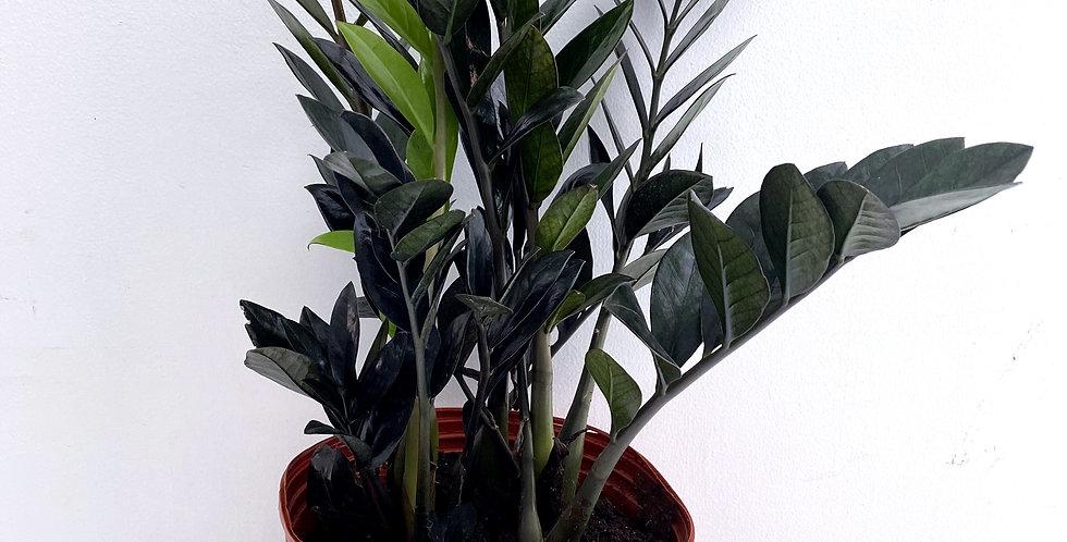 ZZ Plant - Raven