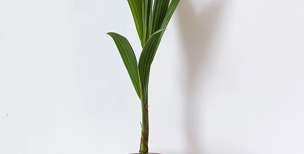 "10"" Coconut Palm"