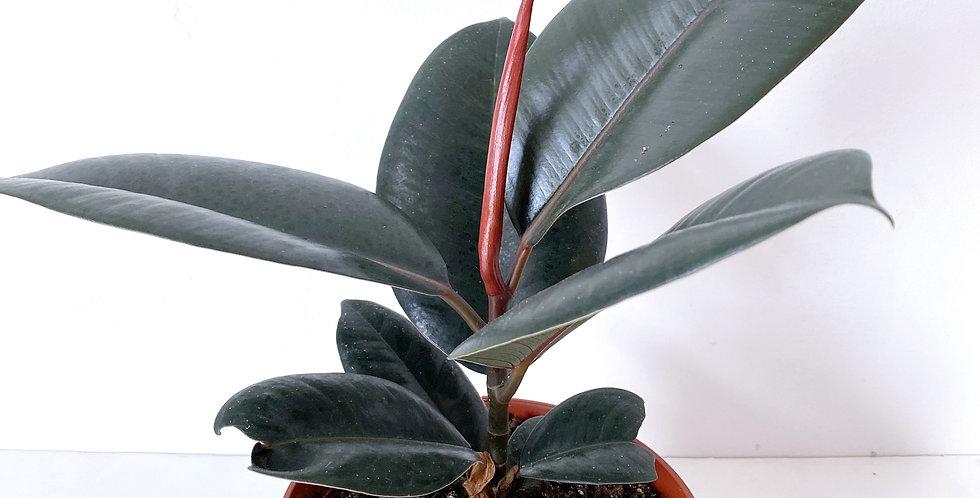 Ficus - Burgundy Rubber