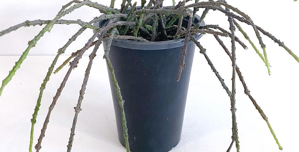 Cynanchum Marnierianum - Bundle of Sticks