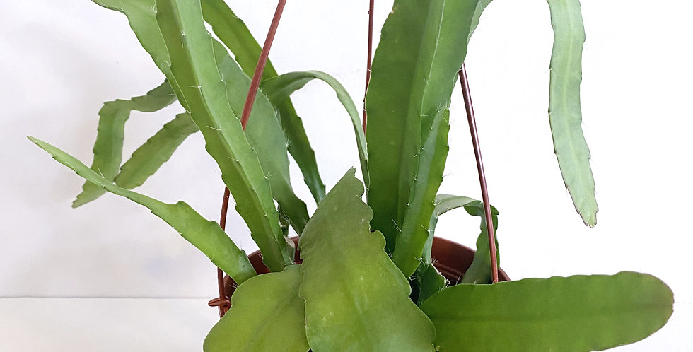 Disocactus - Golden Orchid Cactus