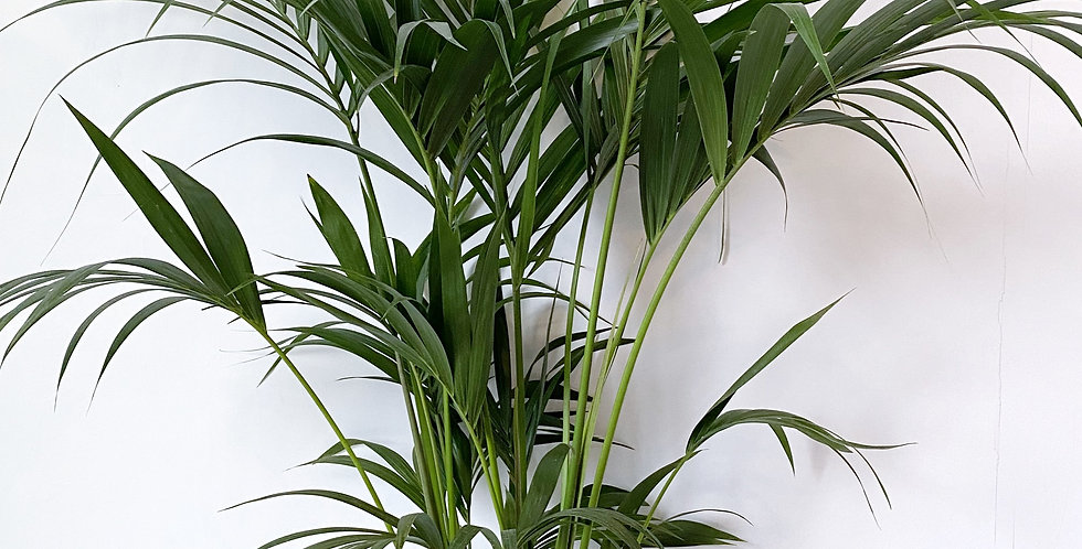 "10"" Kentia Palm"