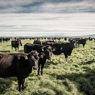lic-cows.jpg