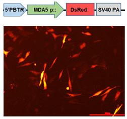 Promoter of chicken MDA-5 gene identified