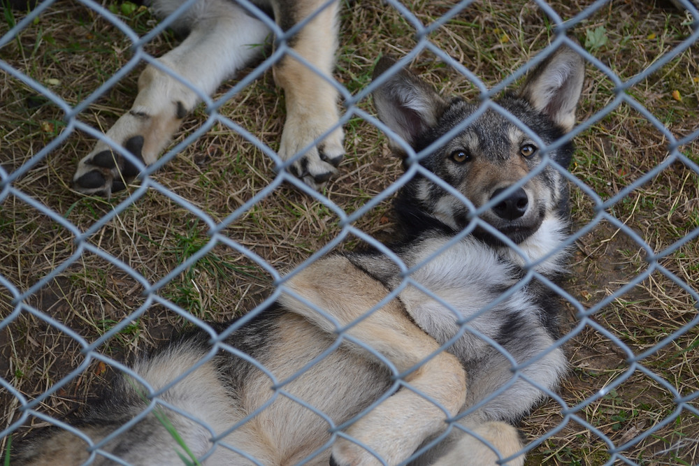 Wolf pup behind enclosure fence