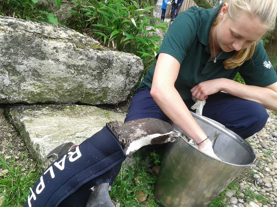 Zookeeper feeding penguin