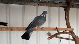 מעולה  parrot-breeding-farm   מלאי ציפורים למכירה VE-06