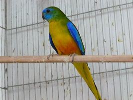 למעלה parrot-breeding-farm   מלאי ציפורים למכירה VU-59