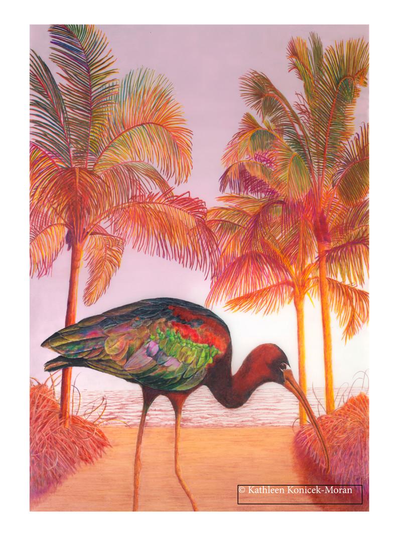 Glossy Ibis at Sunset