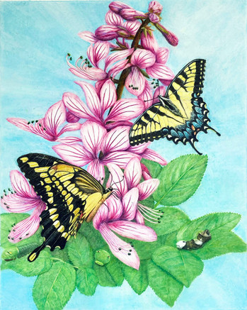Eastern and Giant Swallowtails