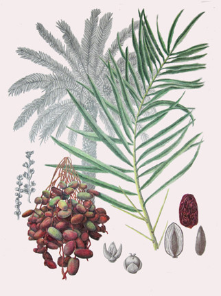 Date Palm Botanical