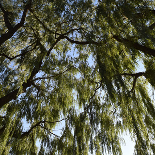 Willow Trees