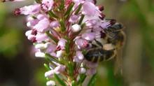 La plante mellifère du mois de Novembre, la Bruyère Multiflore