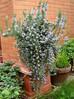La plante mellifère du mois de Janvier, Le Romarin