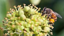 La plante mellifère du mois d'Octobre, le Lierre grimpant