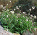 La plante mellifère du mois de Décembre, Le diplotaxis erucoide