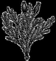 taille de haie de cedre longueuil boucherville saint-Julie
