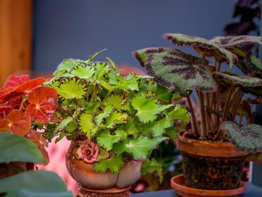 Begonia - Planten som har alt!