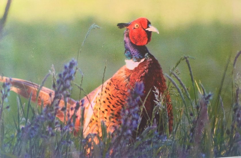 Pheasant in the Bluebells