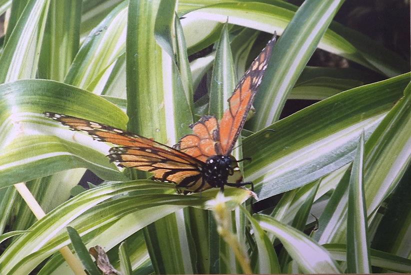Madeiran Butterfly