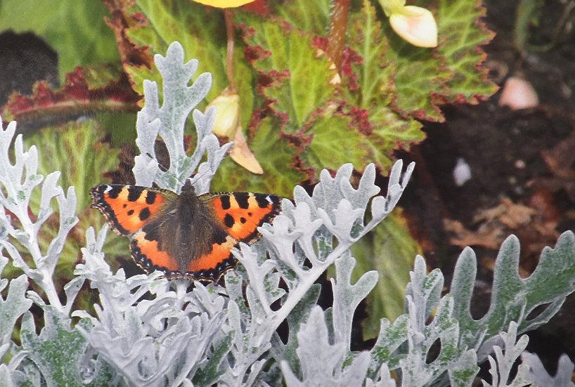 Butterfly Ardencraig Gardens