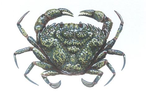 European Green Crab.jpeg