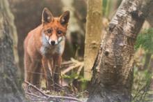 Young Fox.JPG