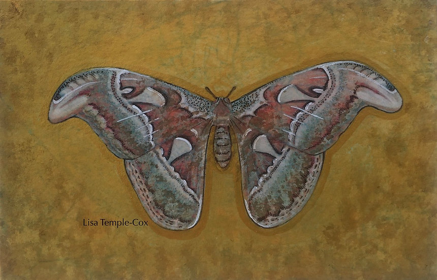 Atlas Moth (Attacus Atlas)