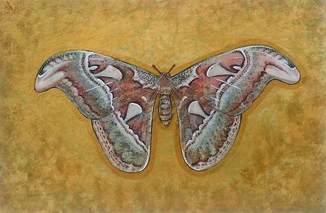 Atticus Moth