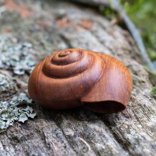 Kauri Snail Shell