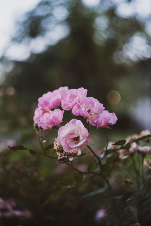 Roses 2018