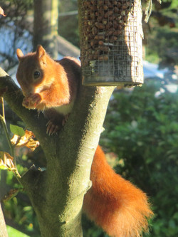 Red squirrel at St Bride Hermitage
