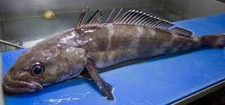toothfish small.jpg