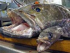 toothfish.jpg