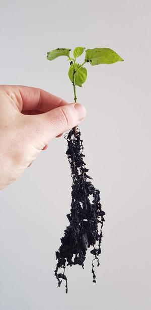 Chili still thriving in biochar despite cold growing conditions.