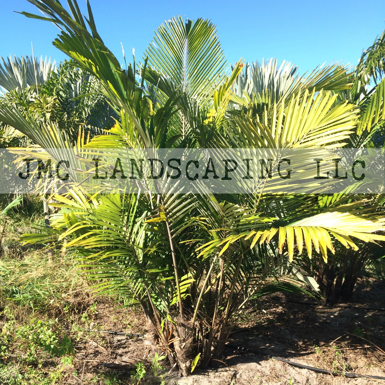 Dwarf Sugar Palm Tree