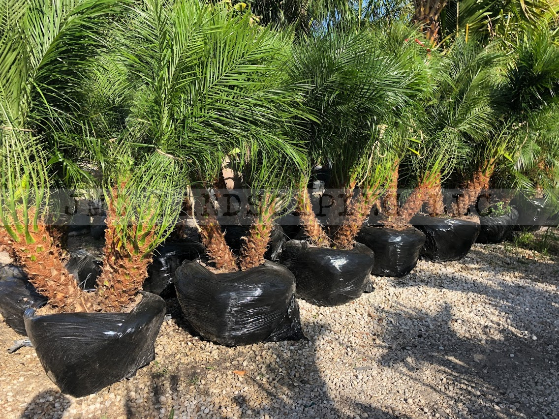 Pygmy Date Palms For Sale