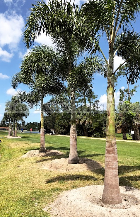 Foxtail palms golf course landscaping