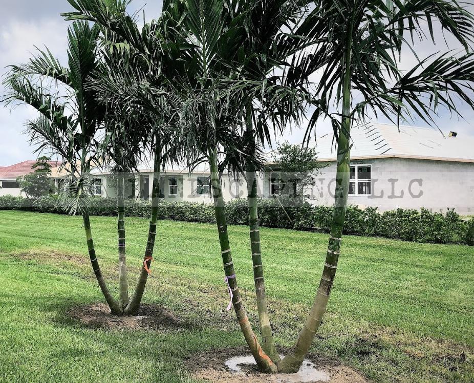 Triple Alexander Palms in landscape