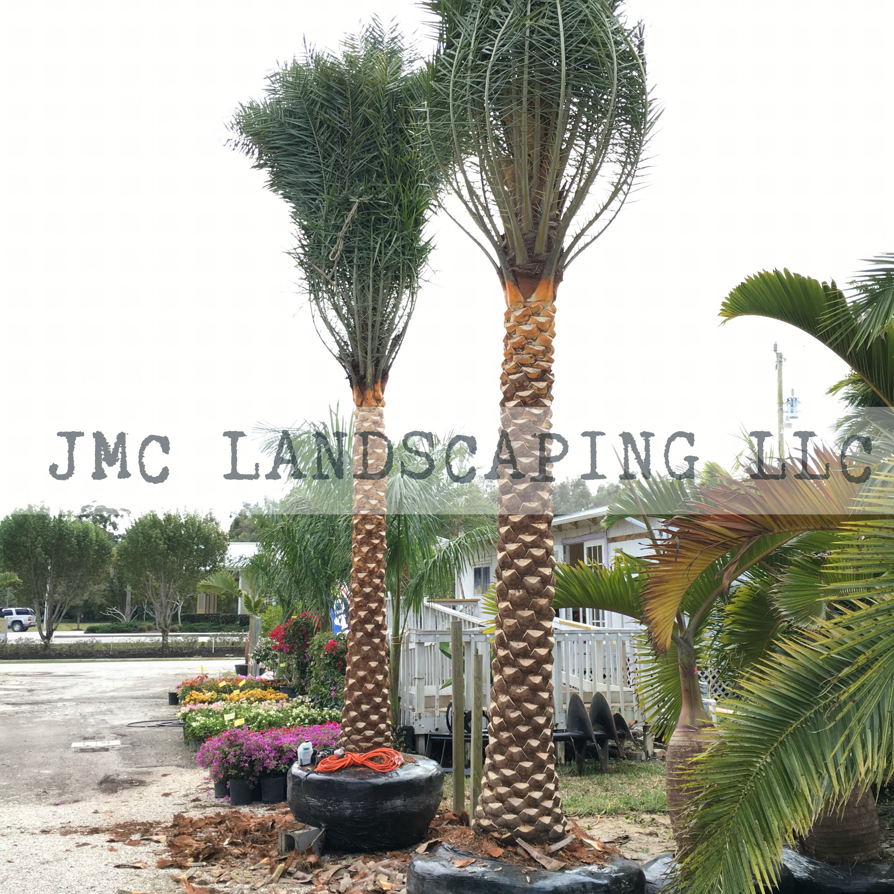 Sylvester Palm Trees With Diamond Cut