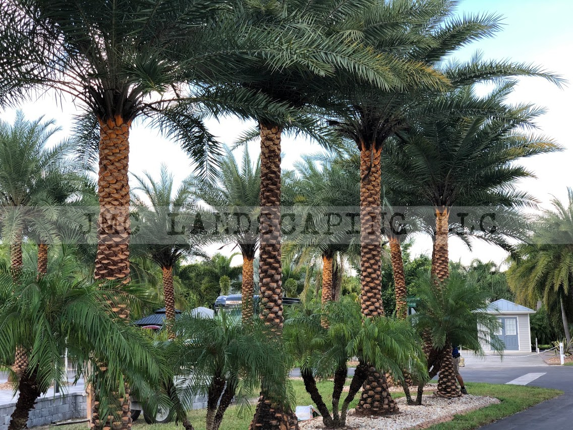 Sylvester Palms Lining Driveway