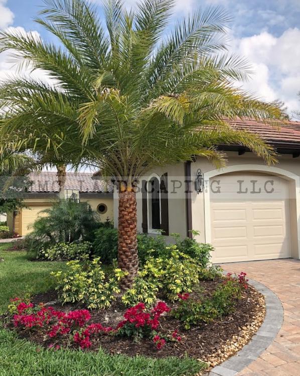 Sylvester palm tree in landscape