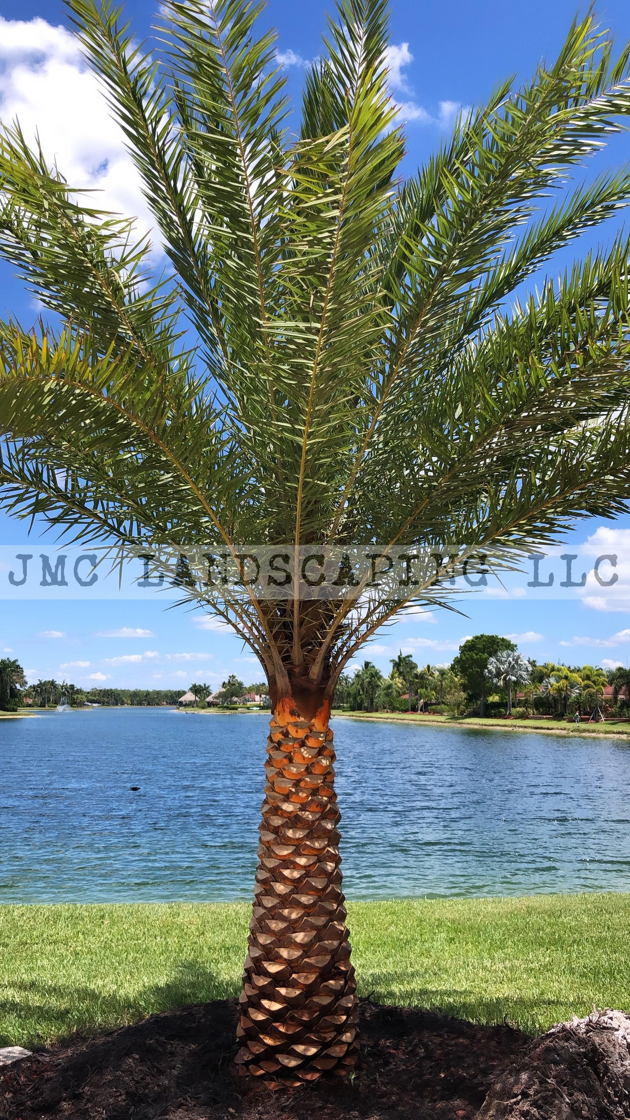 Sylvestris Palm with diamond cut