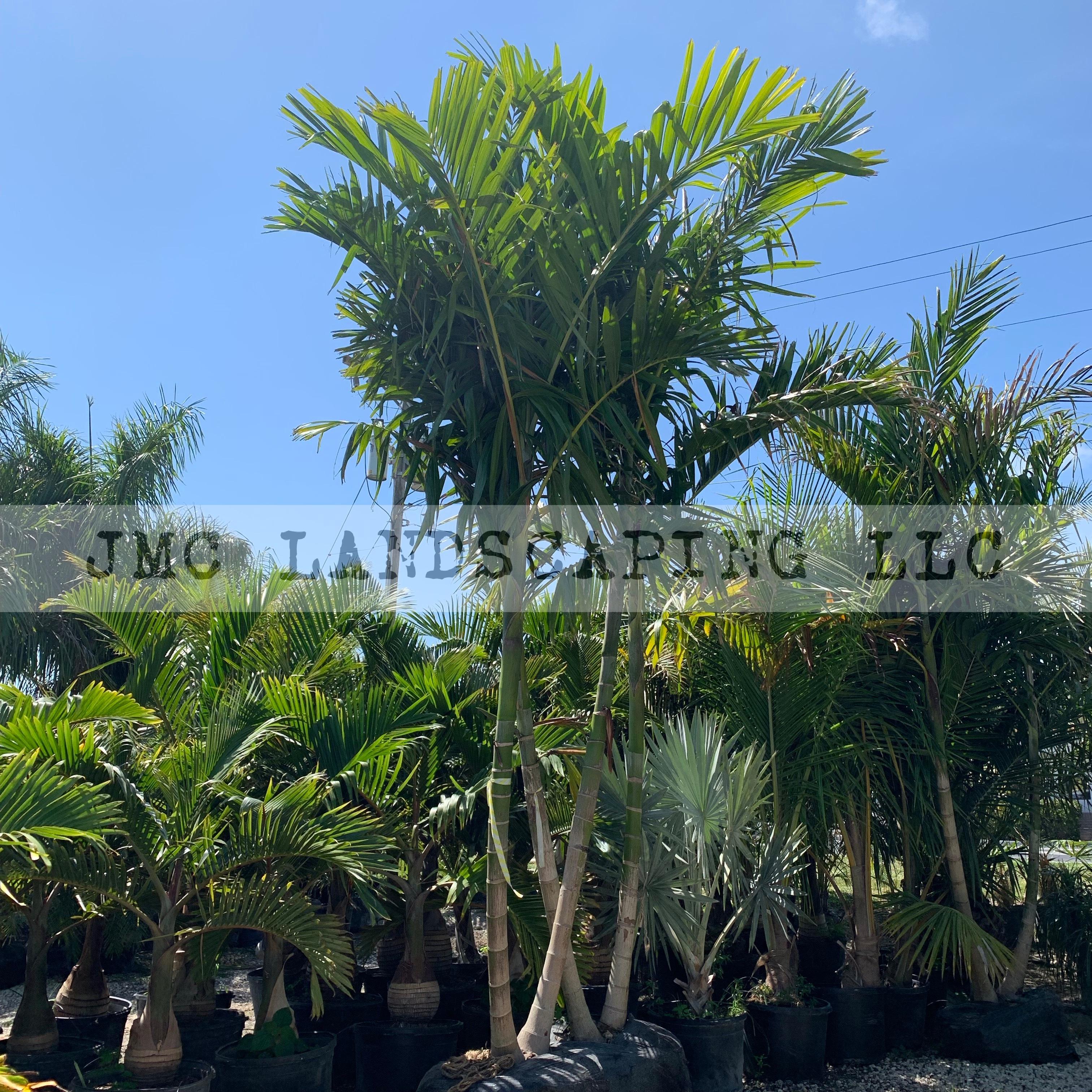 Double Alexander Palm JMC Landscaping LL
