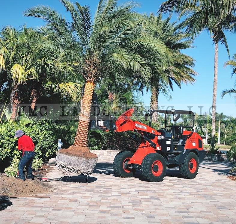 Sylvester palm for centerpiece landscape