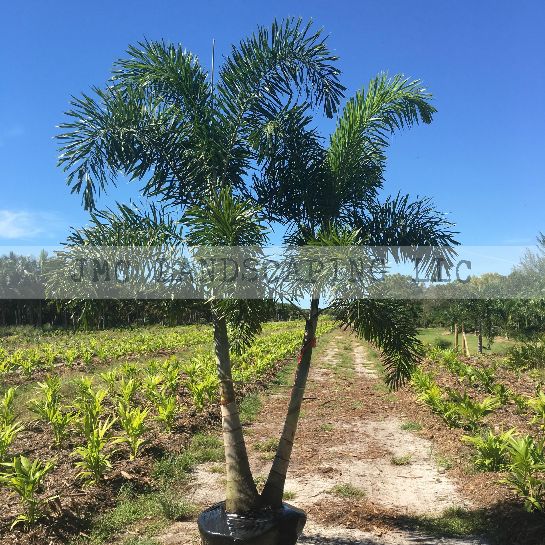 Dbl Foxtail Palm
