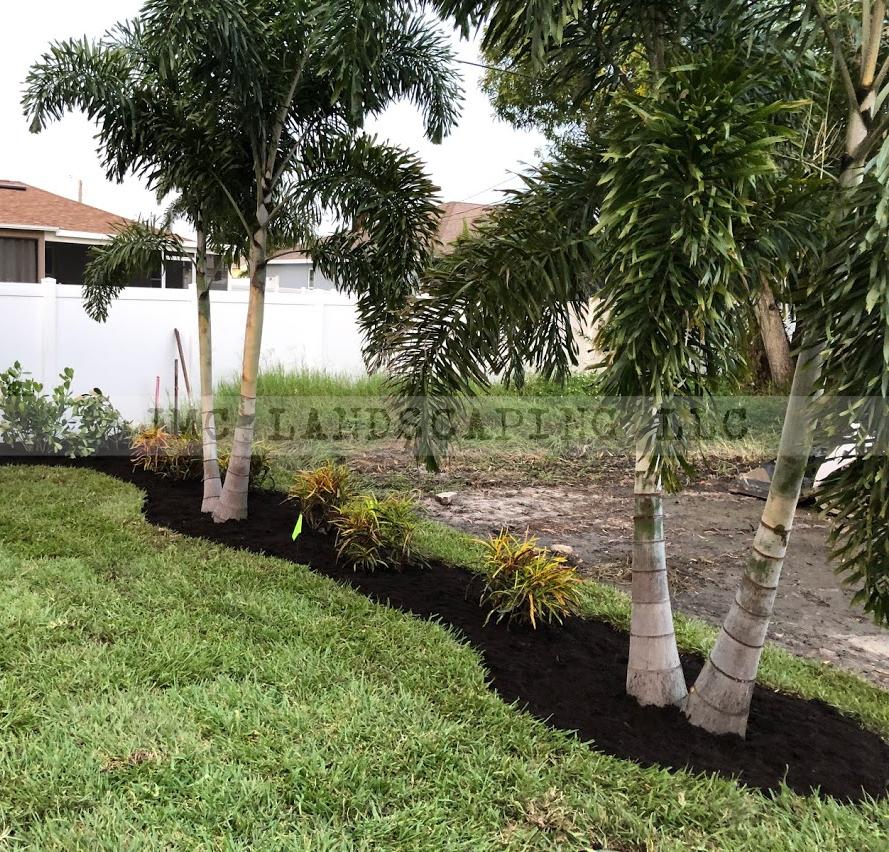 Double Foxtail Palms in landcape