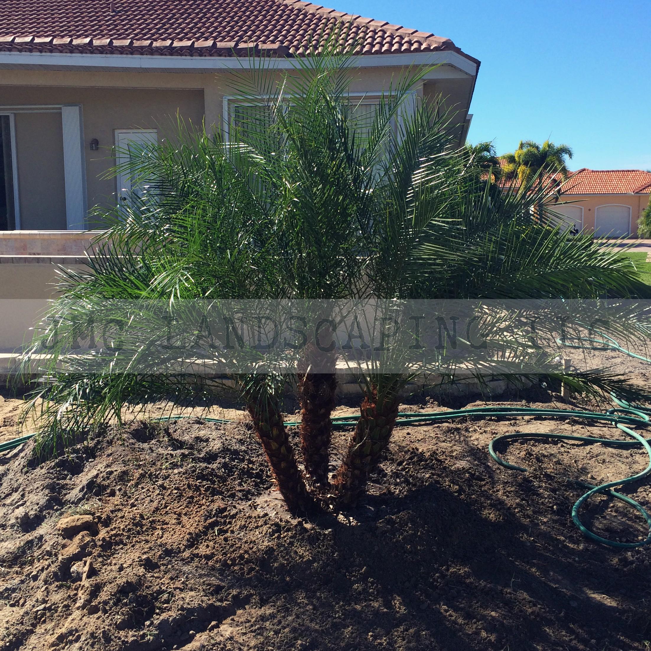 Roebelenii Palm