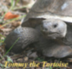 Tommy the Tortoise front cover jpeg.jpg